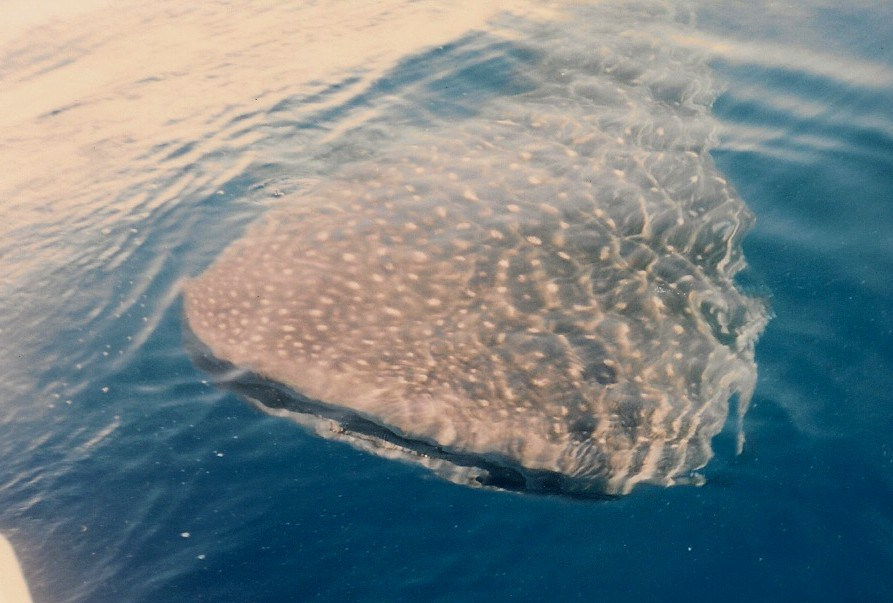 Spring Time Whale Shark in the Florida Keys