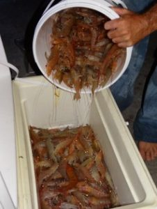 Shrimping for Permit in Tavernier
