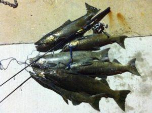 King Salmon Bag
