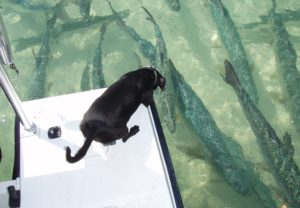 Dog with school of tarpon
