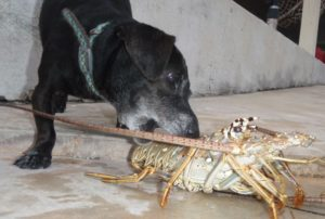 Dog with lobster
