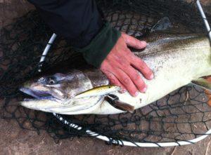 Beautiful and clean Michigan king salmon