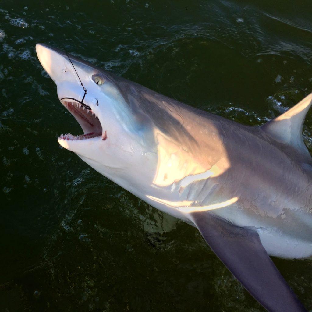 Blacktip shark - shark - flamingo - 2009