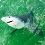Bull Shark - Everglades - islamorada - 2010