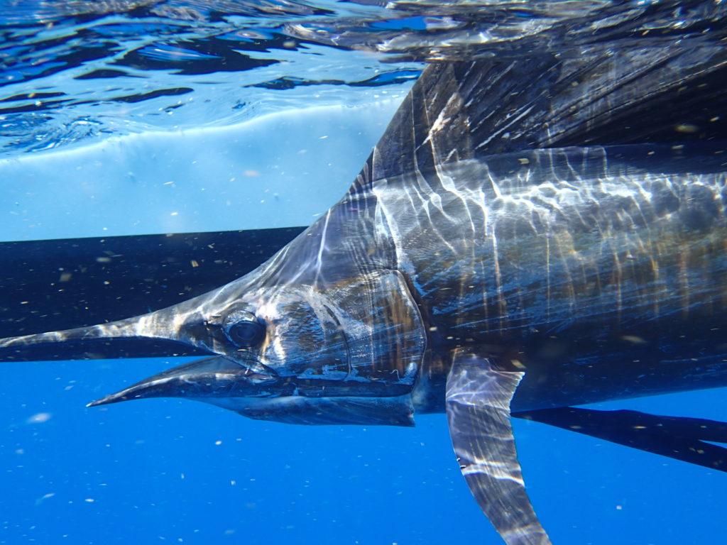 Underwater - sailfish - offshore - islamorada - 2007