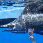 Underwater - sailfish - offshore - islamorada - 2007