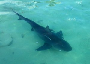 shark - tavernier - fishing - bull shark